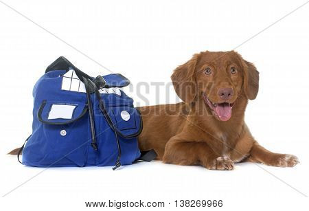 Nova Scotia Duck Tolling Retriever with bag in front of white background