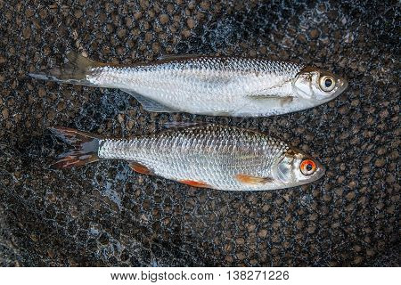 Bleak Fish, Roach Fish On The Natural Background.