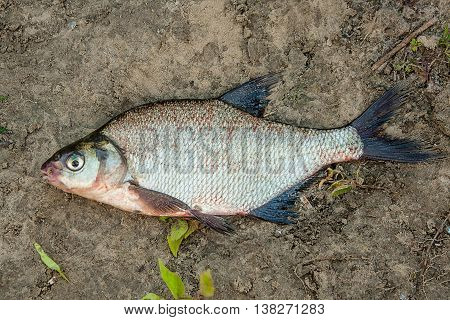 Common Bream Fish Fish On The Natural Background.