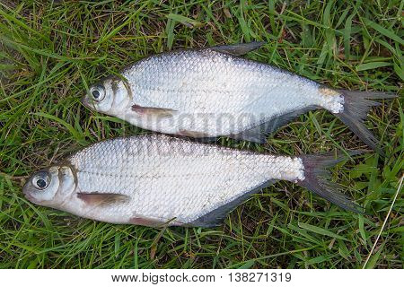 Two Silver Bream Or White Bream Fish On Green Grass.