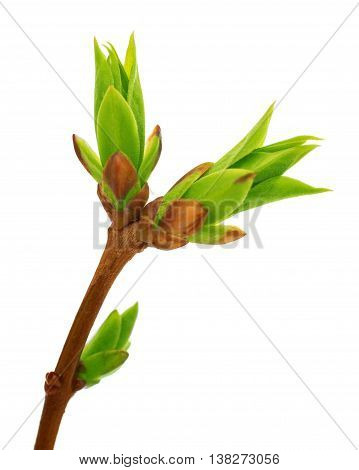 Lilac green  tree Buds Closeup white background