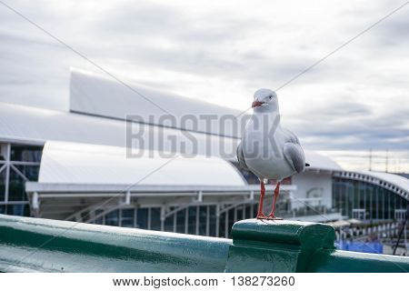 A Silver Gull on Darling Harbour Bridge in Sydney