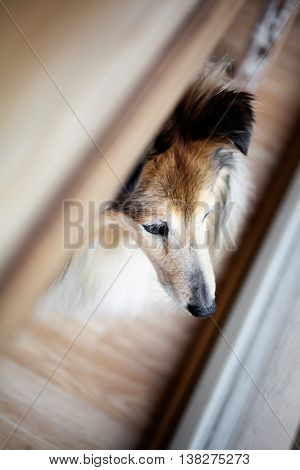 Sheltie looking outside from the window