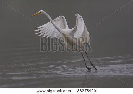 Great white egret (egretta alba) during takeoff