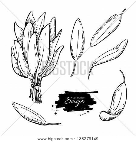 Sage vector drawing set. Isolated sage plant with leaves. Herbal engraved style illustration. Detailed organic product sketch. Cooking spicy ingredient