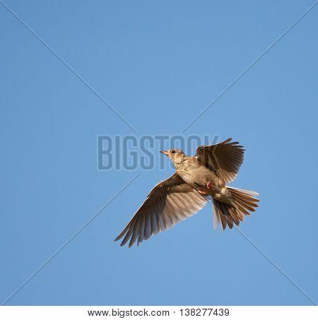 Woodlark In Flight