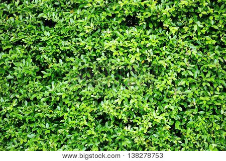 Green leaf wall in the garden, background and texture