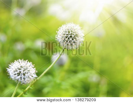 White garlic flower with copy space and selective focus on the foreground. Allium cepa, white flower in the sunlight.