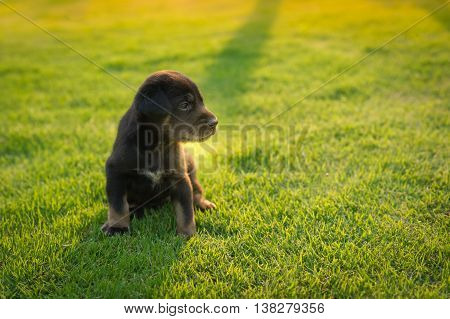 Cute black  puppy walking on the grass in park