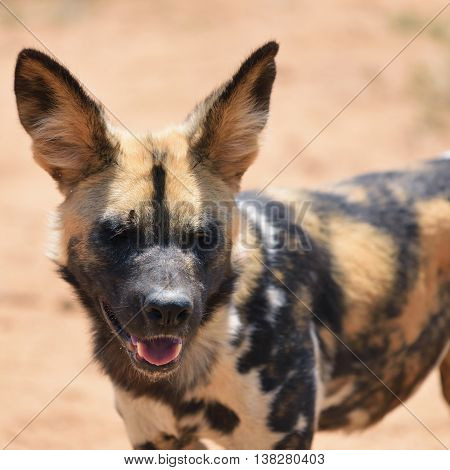 The African Wild Dog portrait in Namibia