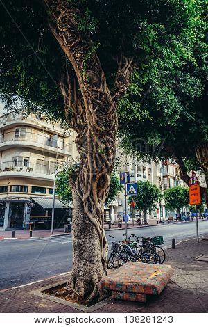 Tel Aviv Israel - October 18 2015. Ficus tree on the pavement in Tel Aviv