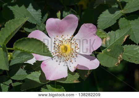 One Rosa Canina Blossom Wildlife