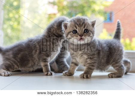 Beautiful small striped kittens on the window sill. Scottish Fold breed.