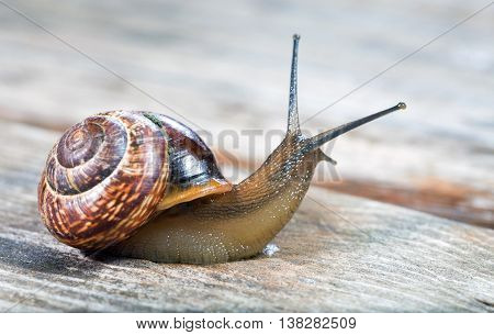 Small snail crawling on an old wooden surface