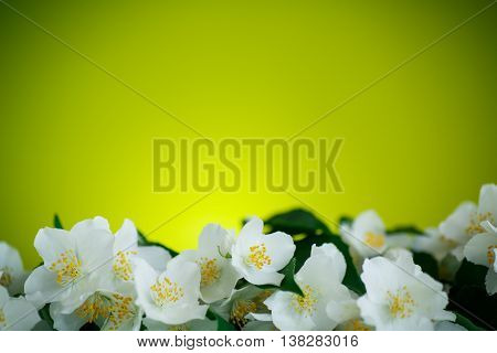 jasmine white flower on a green background
