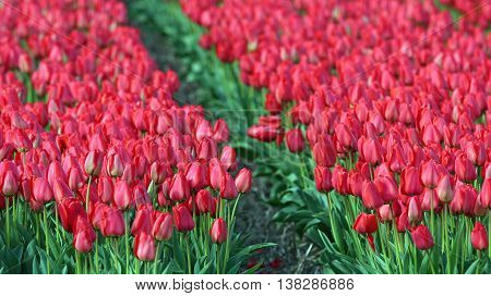 Sea Of Red Tulips. Beautiful outdoor scenery in Netherlands.