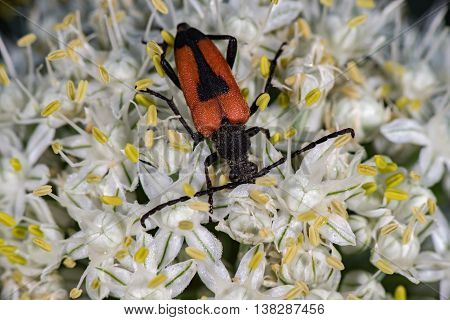 Red And Black Beatle Insect On Onion Flower
