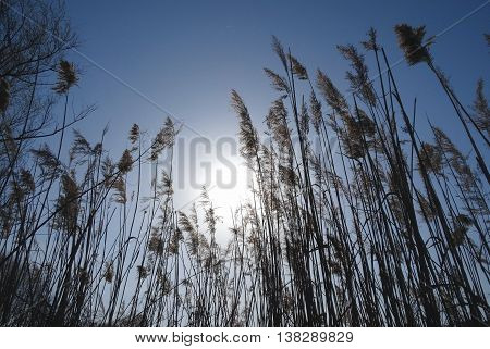 Reed stems with spikes growing in natural conditions