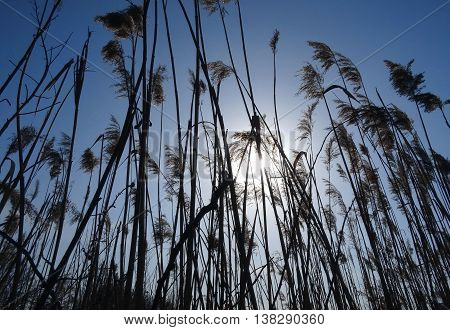 Reed grass at the morning under blue sky