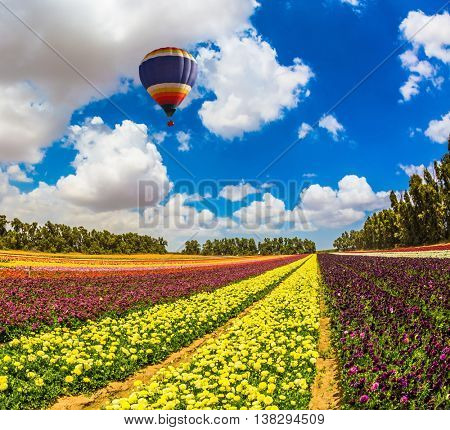 Field of blossoming garden buttercups-ranunculus. Above the flowers flying big bright balloon. The concept of summer vacation