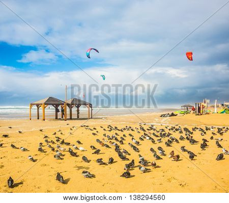 Windy winter day on the beach. Large flock of pigeons resting on the sand. Kitesurfer riding on large waves