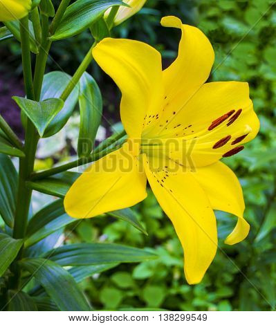 lilies. lily flower. flowers pattern with yellow lilies