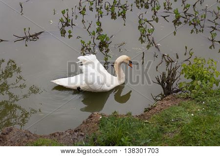 Swan bird on the river in the morning in lake photo.