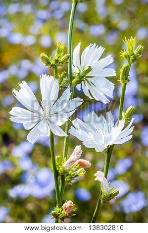 Chicory common (Cichorium) a genus of biennial or perennial herbs of the family Asteraceae or Compositae. Plant in flowering period