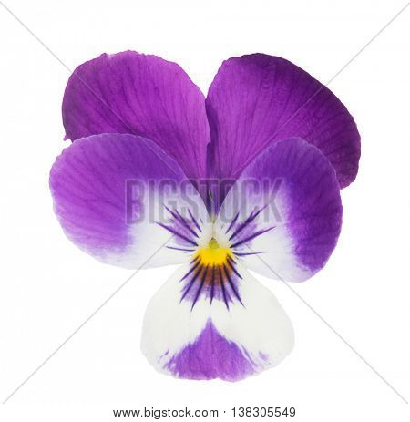 purple pansy isolated on white background