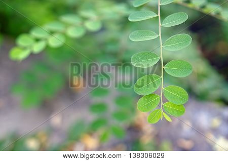 Moringa Oleifera Tropical Medicinal Plant