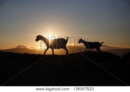 Mountain goat at sunrise on the background of mountains in Spain