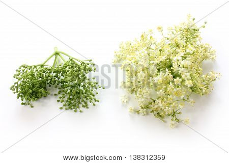 Sambucus nigra elderberry herb with flowers and buds on white background.