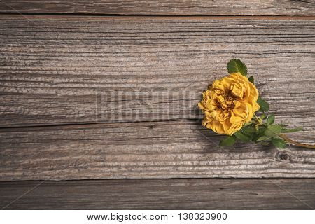 Beautiful yellow rose on wooden background, copy-space for your text