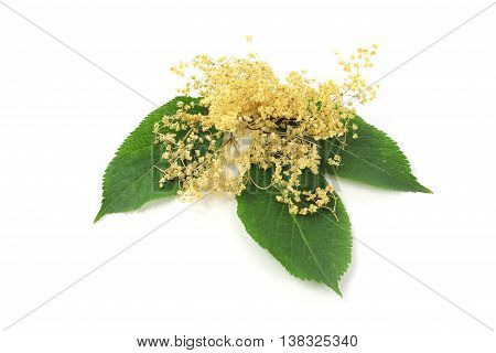 Sambucus nigra elderberry herb with dried flowers and with leaves on white background.