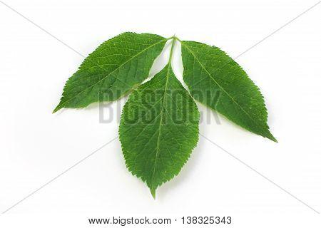 Sambucus nigra elderberry herb green leaves on white background.