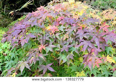 A colourful shrub in an English garden