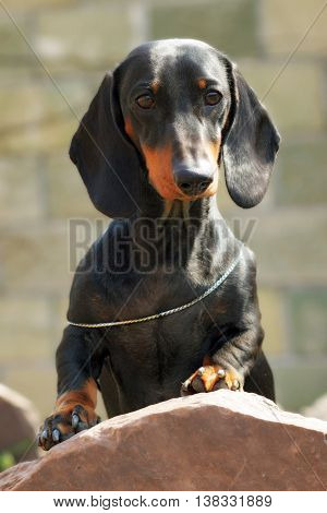 Dog German haired Dachshund standing with feet on stone in the summer in the bright sun