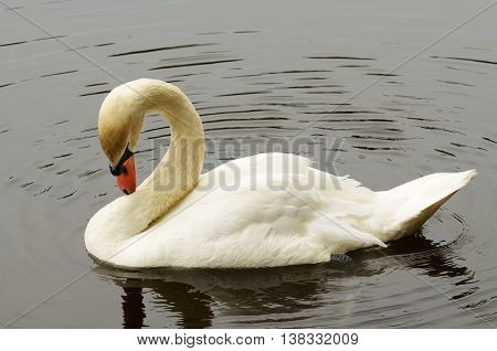Swan slowly swimming in the lake.He preens its feathers.