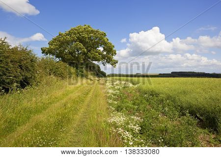 Ash Tree And Chamomile Flowers