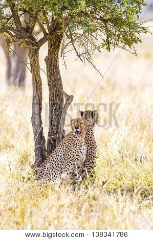 African cheetahs sitting under a tree and looking for enemies at the Savannah in Serengeti, Tanzania.
