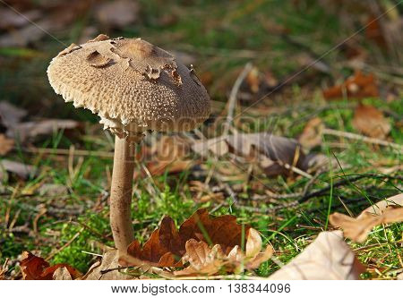 Young Parasol mushroom with oak leaves in the forest