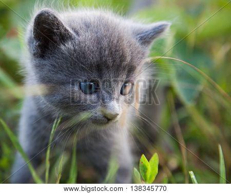 hiding little smoky blue cat in the green summer grass