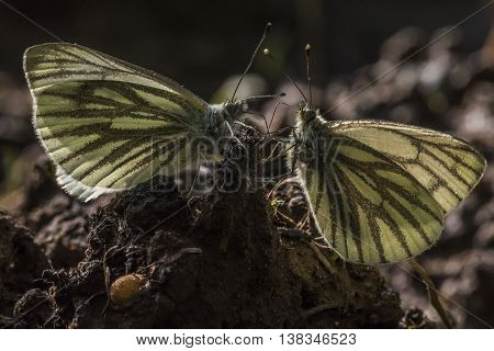Two green-veined white butterflies against the light