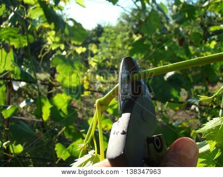 pruning shears are in the hand of the man cuts the branches.