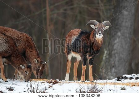 Cute young mouflon with small horns in winter