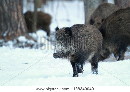 Young wild boar running on the snow in a forest