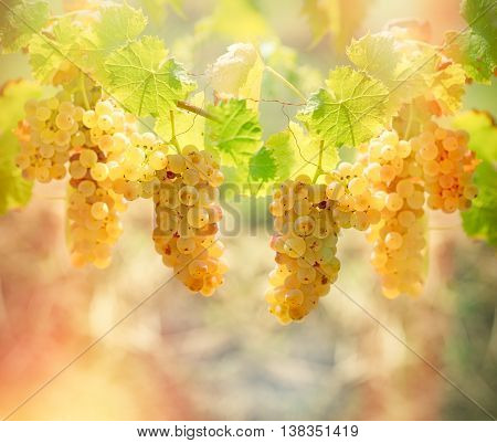 Rich harvest of grapes - Riesling wine grapes