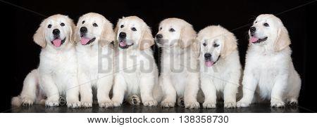 six adorable golden retriever puppies on black