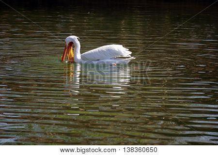 An American white pelican (Pelecanus erythrorhynchos) tries to catch fish while swimming on the water.