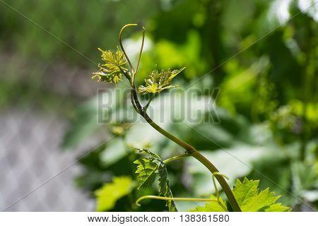 Green vine leaves of a Vitis vinifera